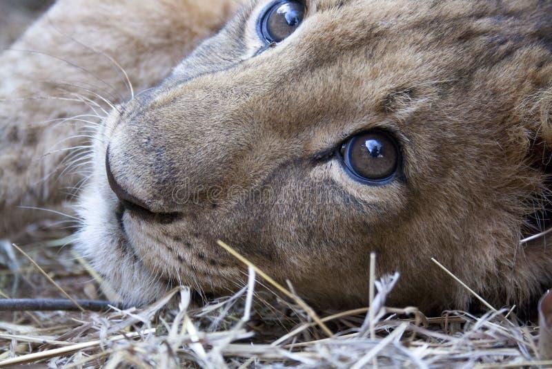 Pequeño Lion Cubs imágenes de archivo libres de regalías