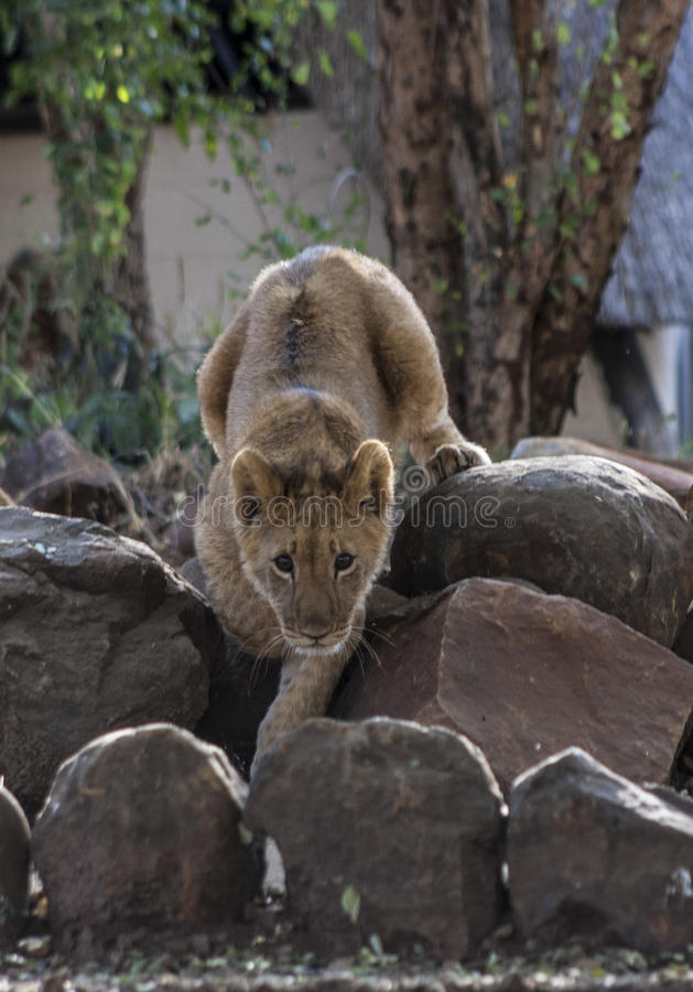 Pequeño Lion Cubs fotos de archivo libres de regalías