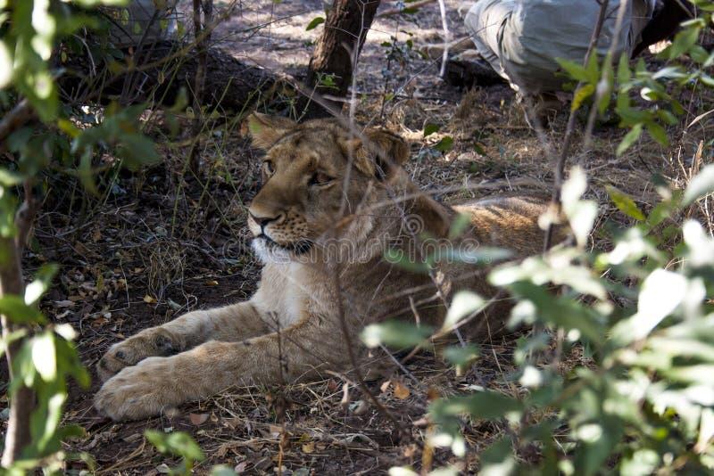 Pequeño Lion Cubs foto de archivo libre de regalías