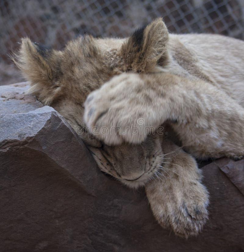 Pequeño Lion Cubs fotografía de archivo