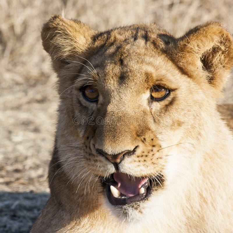 Pequeño Lion Cubs imagen de archivo