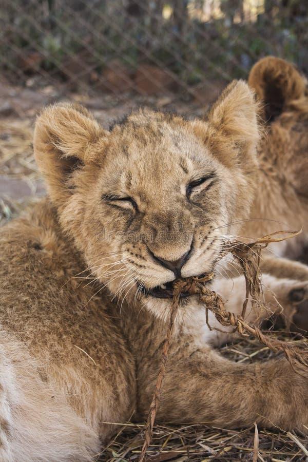 Pequeño Lion Cubs foto de archivo