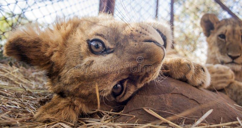 Pequeño Lion Cubs imagen de archivo libre de regalías
