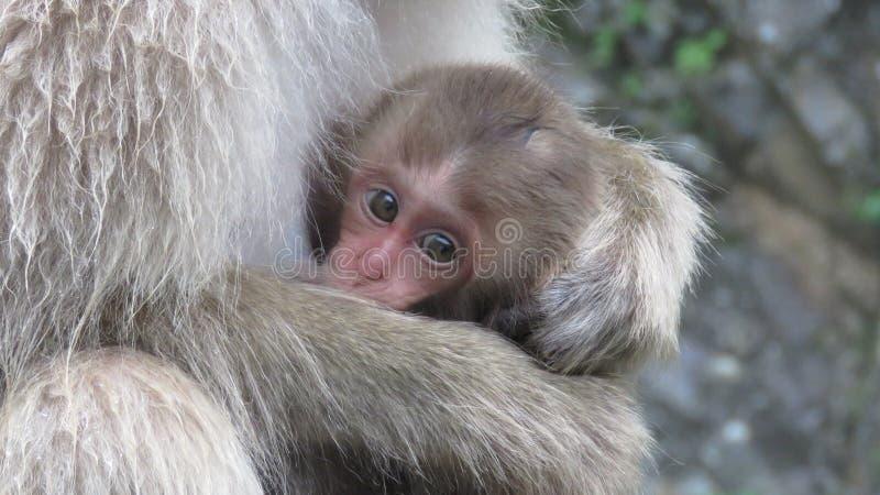 Pequeño macaque en parque del mono de la nieve de Jigokudani fotografía de archivo libre de regalías