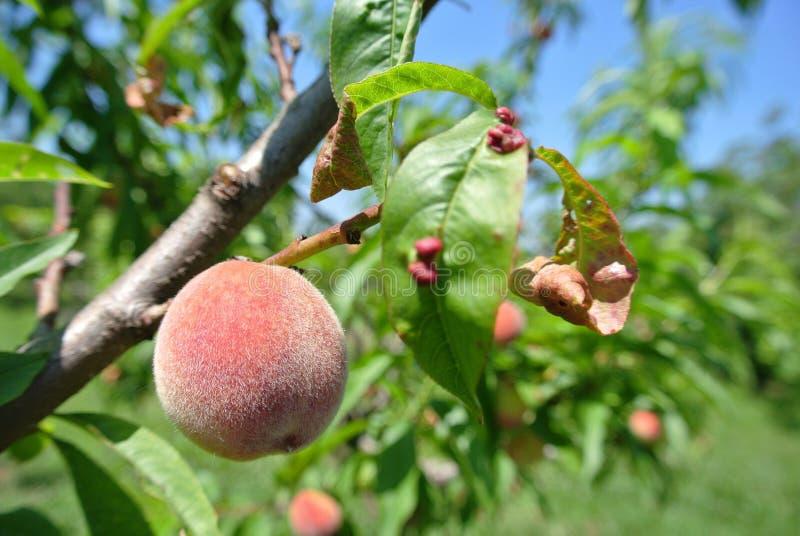 Pequeño melocotón rojo semi-maduro en el árbol infectado con la infección del rizo de la hoja imagenes de archivo