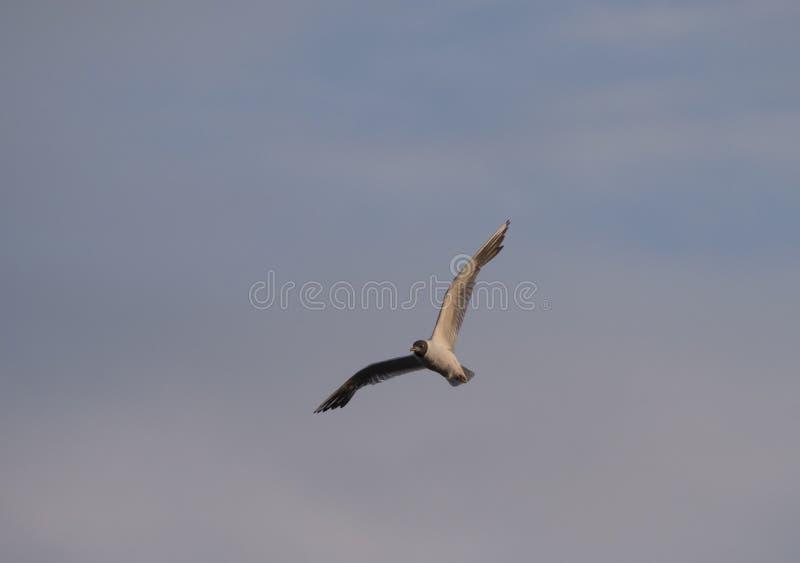 Pequeño minutus del Larus de la gaviota de la pequeña gaviota adulta en vuelo contra el cielo azul rosado, hora de la puesta del  fotografía de archivo