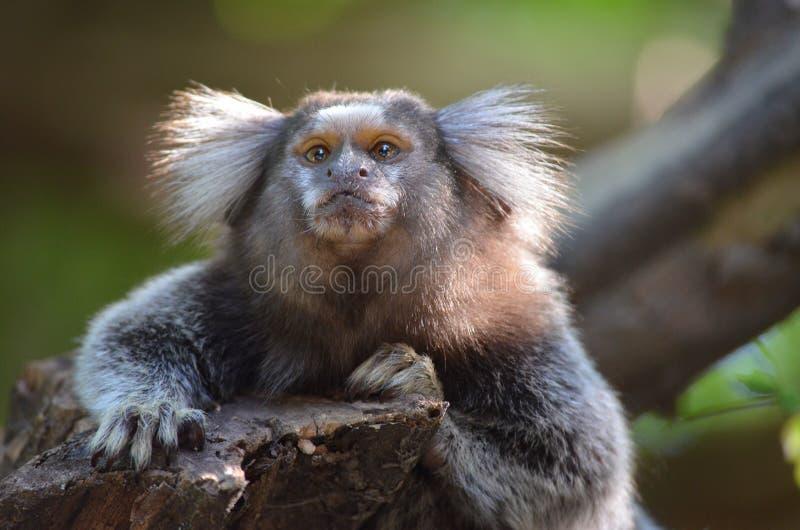 Pequeño mono fotografía de archivo libre de regalías