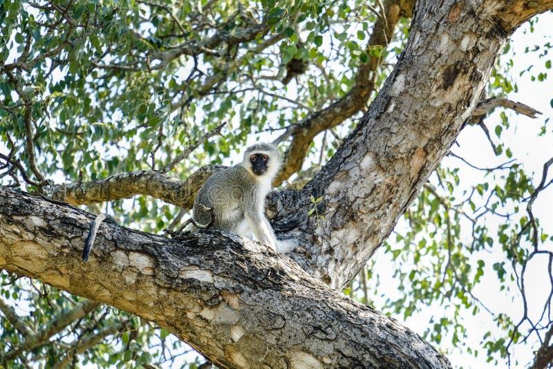 Pequeño mono de vervet encima de un árbol imagen de archivo