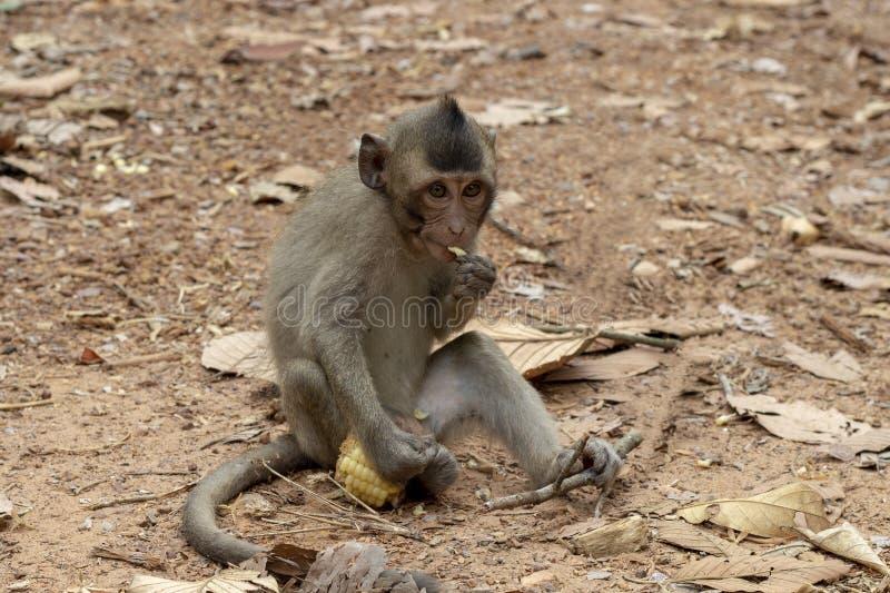 Pequeño mono del bebé que come maíz Retrato lindo del primer del mono Chimpancé salvaje en bosque de la selva imagenes de archivo