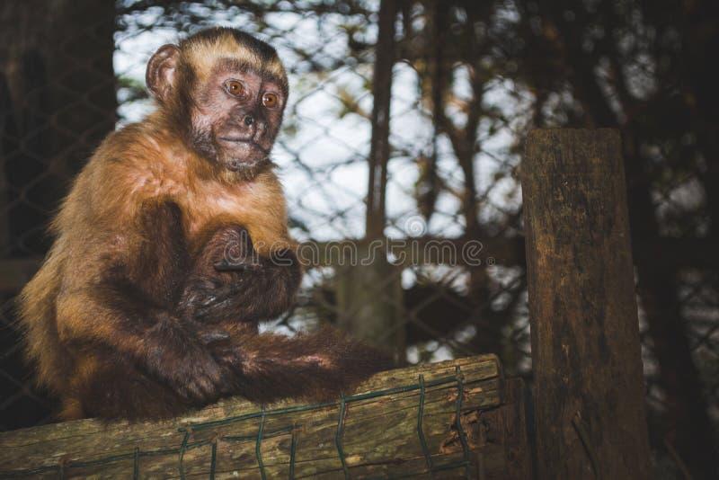 Pequeño mono hermoso que se sienta en una jaula de madera imagenes de archivo