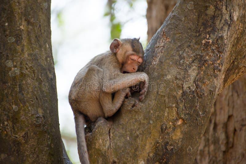 Pequeño mono que se relaja en árbol en Tailandia foto de archivo