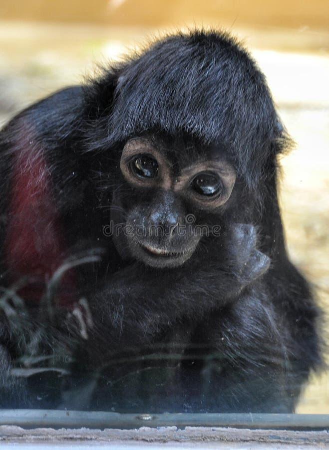 Pequeño mono triste imagen de archivo libre de regalías