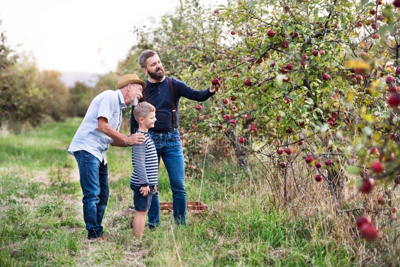 Pequeño muchacho con el padre y el abuelo que escogen manzanas en huerta en otoño imágenes de archivo libres de regalías