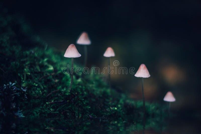 Pequeño mycena venenoso blanco de la seta en fondo verde oscuro Un grupo de setas en una colina cubierta con el musgo Filopes de  imagen de archivo