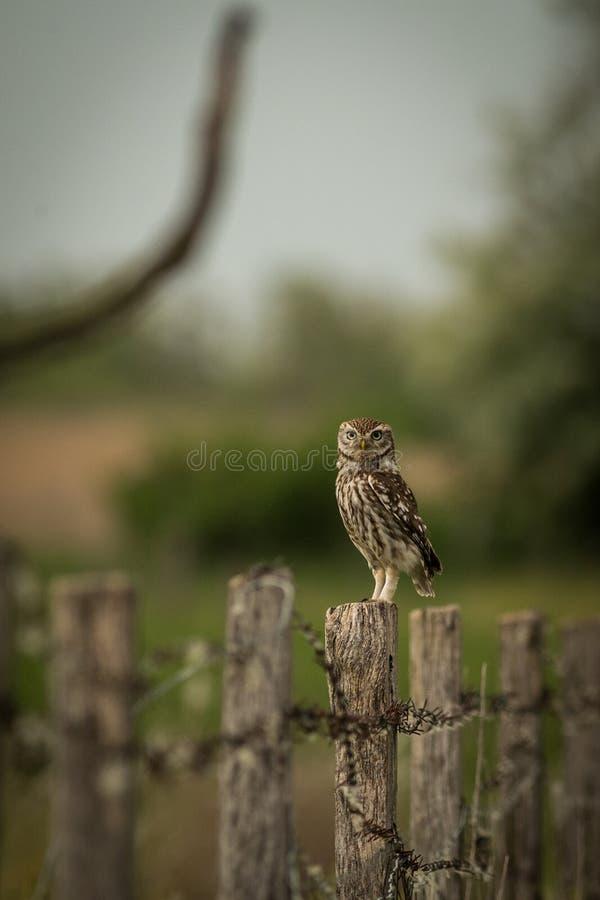 Pequeño noctua de Owl Athene que se sienta en una cerca fotografía de archivo libre de regalías