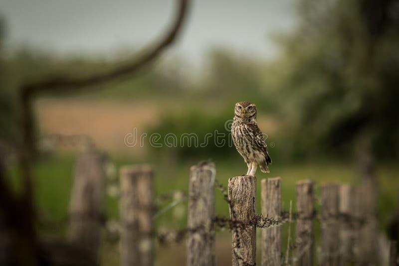 Pequeño noctua de Owl Athene que se sienta en una cerca fotos de archivo libres de regalías