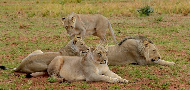Pequeño orgullo de leones imagen de archivo libre de regalías