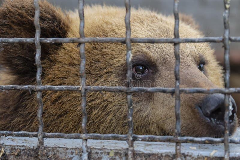 Pequeño oso marrón lindo que mira a escondidas a través de las barras de acero de la cerca imágenes de archivo libres de regalías