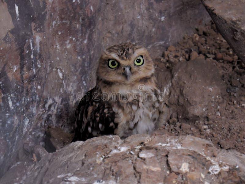 Pequeño Owl Hidden foto de archivo libre de regalías