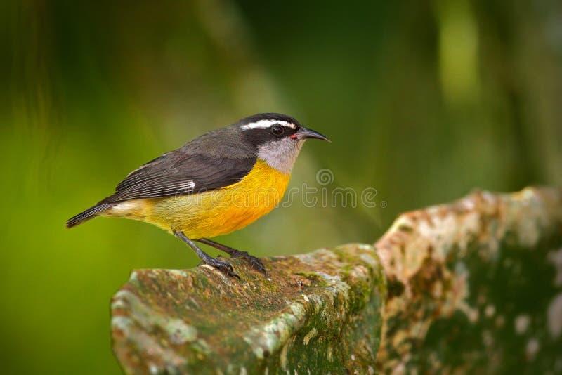 Pequeño pájaro Bananaquit, flaveola del Coereba, pájaro tropical exótico de la canción que se sienta en las hojas verdes Pájaro g imagenes de archivo