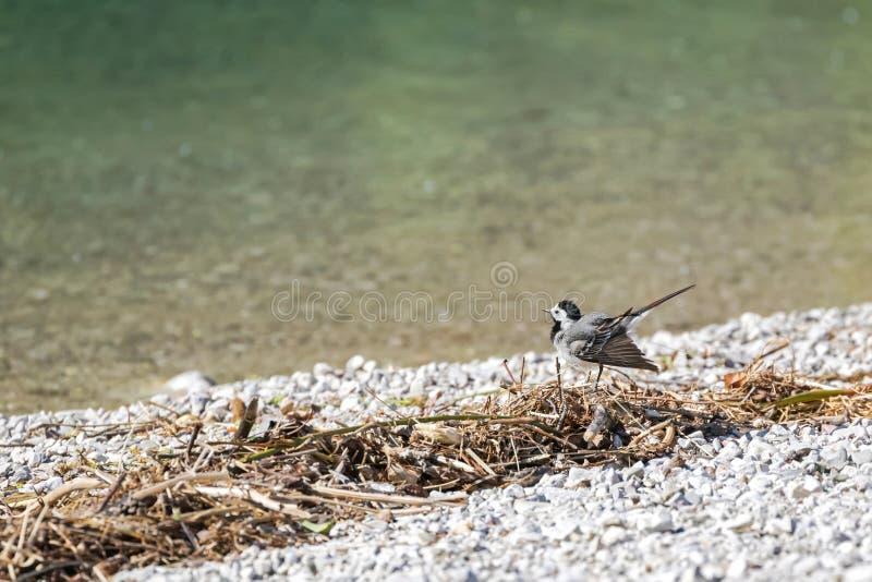Pequeño pájaro blanco lindo del aguzanieves que menea su cola por el lago en A foto de archivo libre de regalías