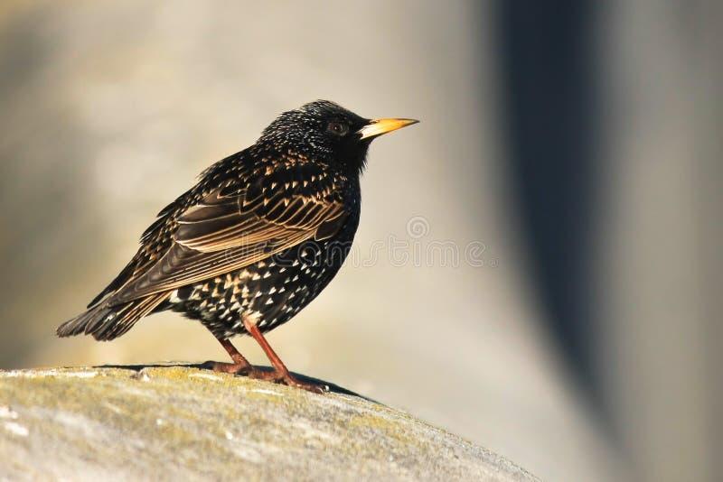 Pequeño pájaro común de Starling fotografía de archivo