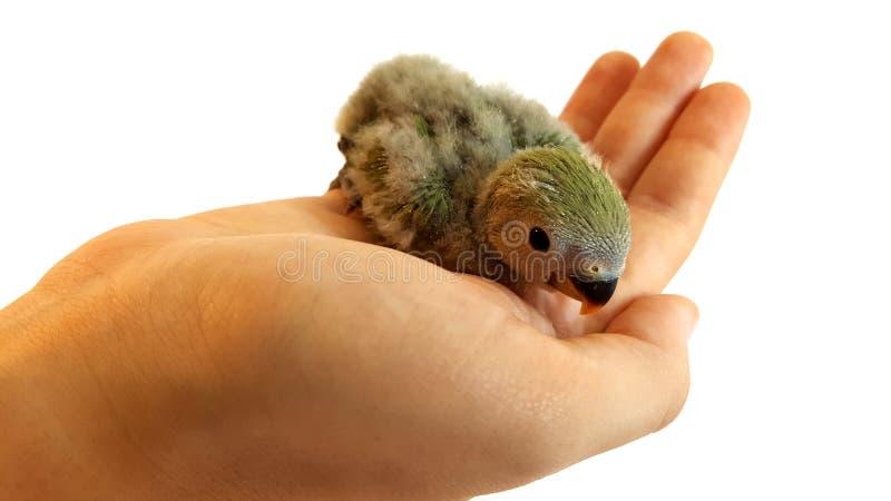 Pequeño pájaro de bebé en la mano humana fotografía de archivo