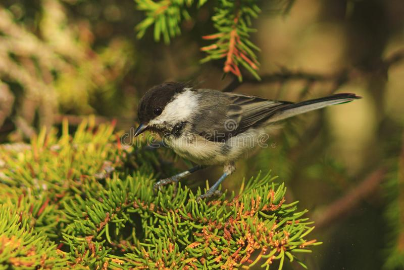 Pequeño pájaro en el árbol de la rama foto de archivo libre de regalías