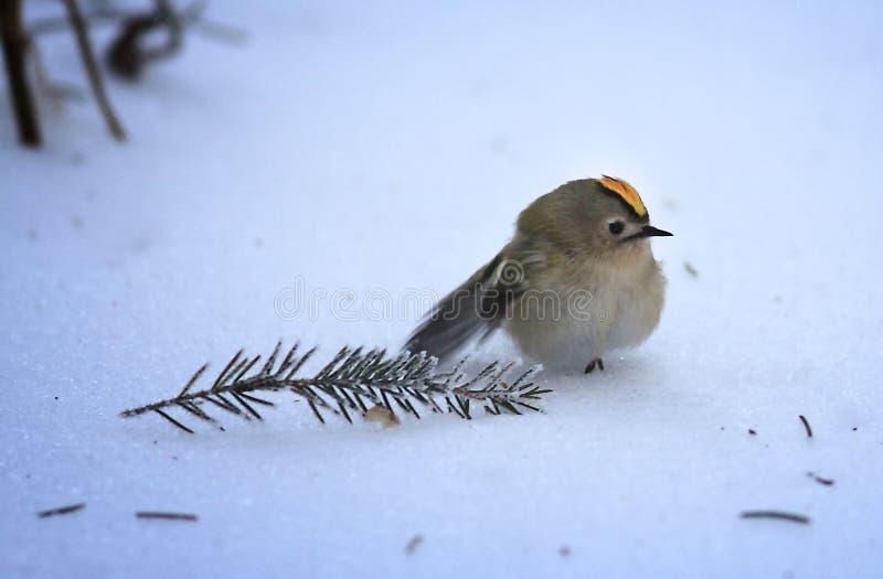Pequeño pájaro en el invierno frío foto de archivo libre de regalías