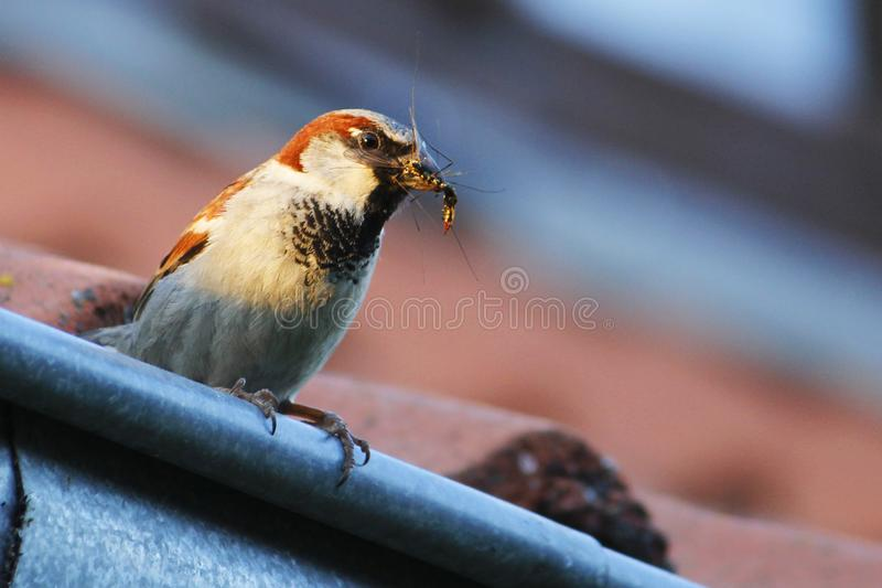 Pequeño pájaro en el tejado imagenes de archivo