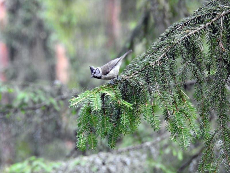 Pequeño pájaro en la rama de árbol de abeto, Lituania fotografía de archivo libre de regalías
