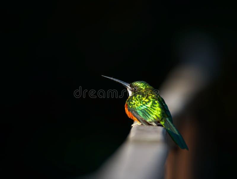 Pequeño pájaro exótico, Pantanal, el Brasil foto de archivo