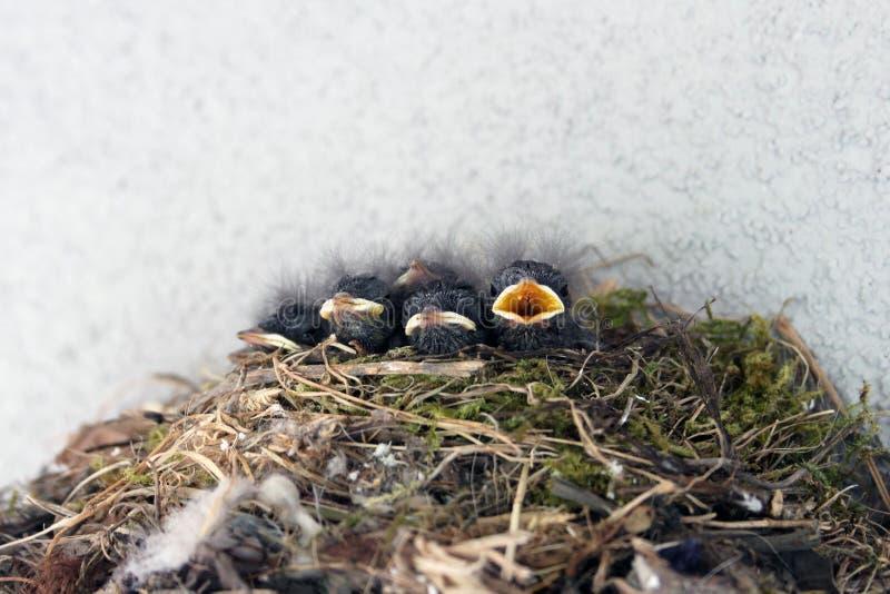 Pequeño pájaro hambriento en la jerarquía, polluelo con un pico abierto fotos de archivo