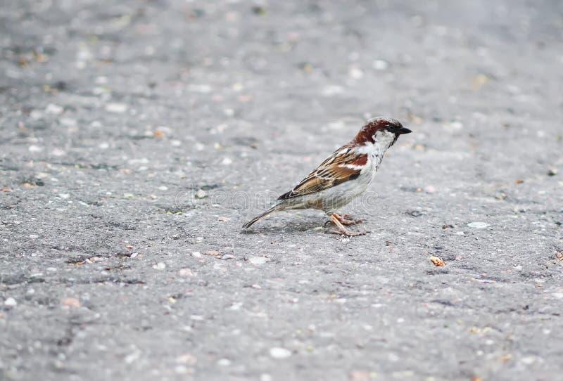 Pequeño pájaro hermoso del gorrión foto de archivo