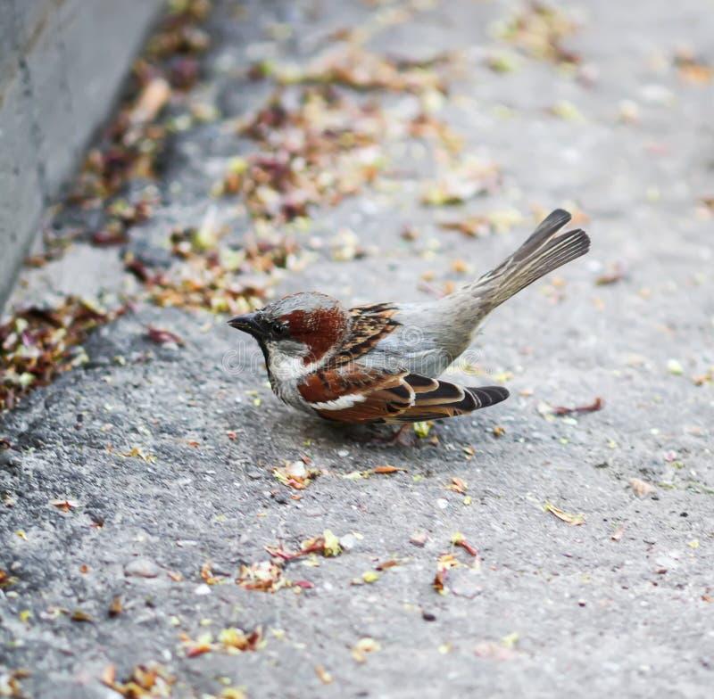 Pequeño pájaro hermoso del gorrión foto de archivo libre de regalías