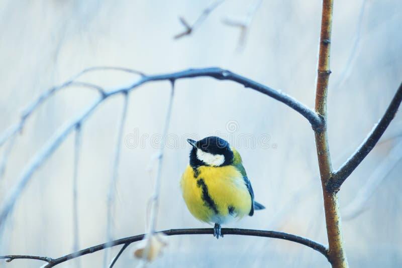 pequeño pájaro lindo del chickadee que se sienta en la rama de un abedul en un parque frío por mañana del invierno foto de archivo