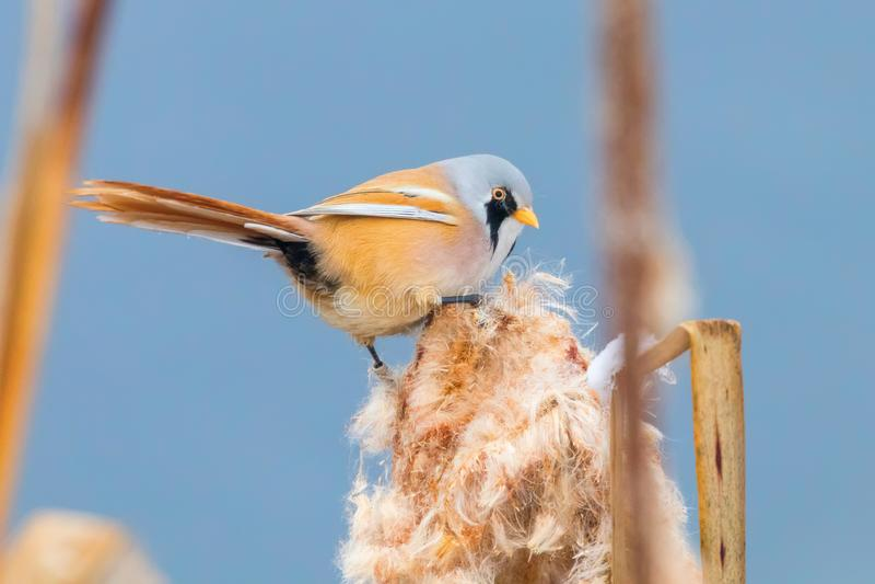 Pequeño pájaro lindo, tit barbudo, biarmicus reedling barbudo masculino del panurus foto de archivo