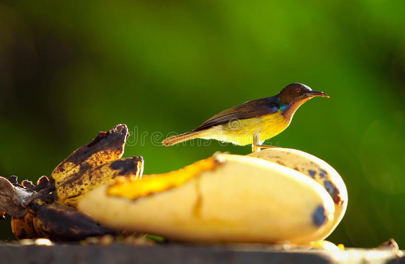 Pequeño pájaro que come la fruta amarilla del mango en árbol fotografía de archivo libre de regalías