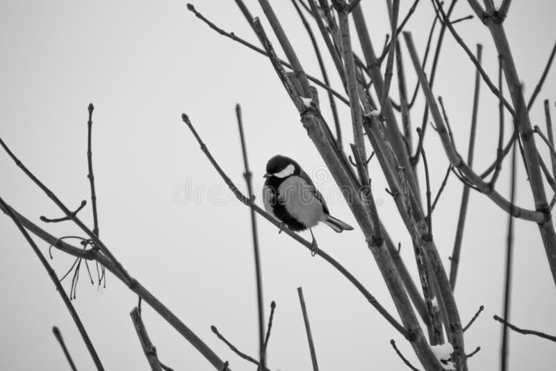 Pequeño pájaro que se sienta en la rama de árbol blanco y negro imagen de archivo