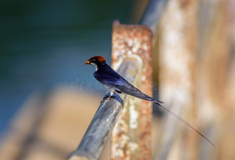 Pequeño pájaro, trago Alambre-atado, smithii del Hirundo, encaramado imagen de archivo