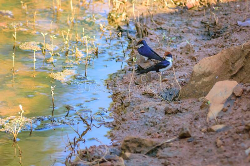 Pequeño pájaro, trago Alambre-atado, smithii del Hirundo, lado del lago imagen de archivo