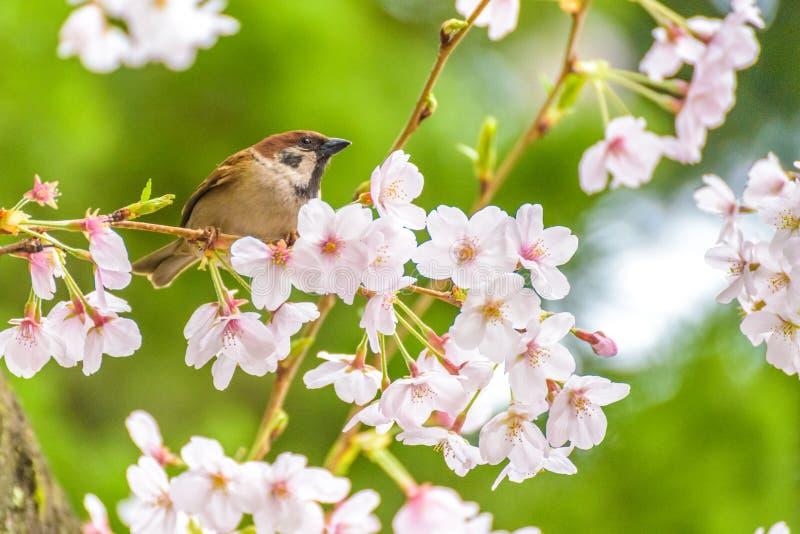 Pequeño pájaro y Cherry Blossom hermoso foto de archivo libre de regalías