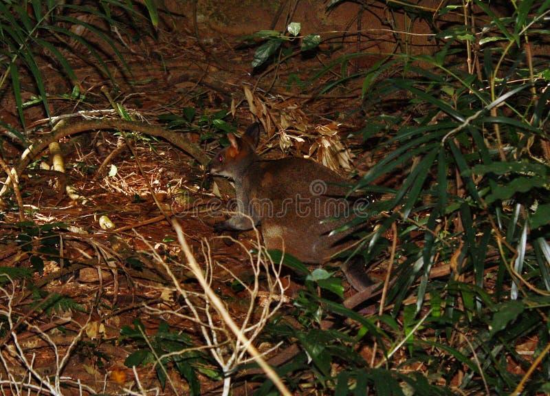 Pequeño pademelon salvaje del canguro en el parque fotos de archivo