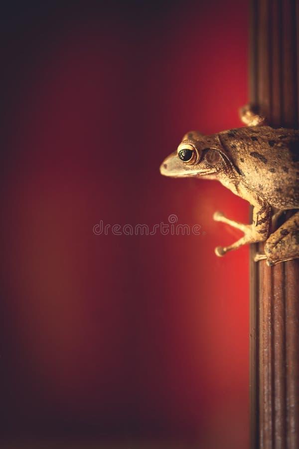 Pequeño palillo tropical de la rana en marco de ventana con el espacio rojo del fondo y de la copia fotografía de archivo