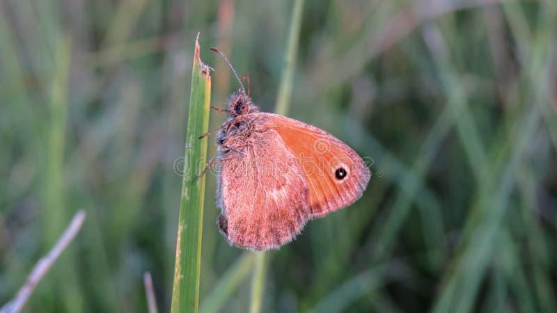 Pequeño pamphilus de Heath Butterfly - de Coenonympha fotografía de archivo