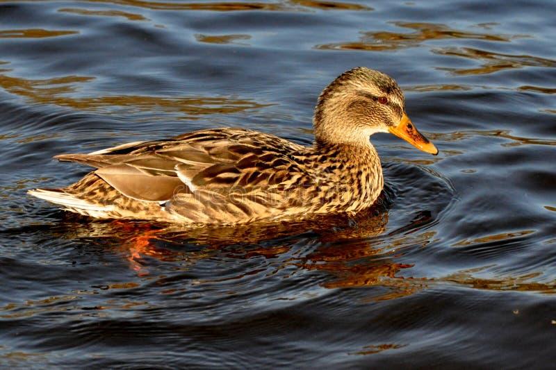 Pequeño pato de Brown fotos de archivo