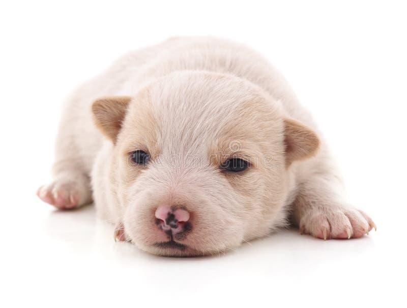 pequeño perrito blanco imagenes de archivo