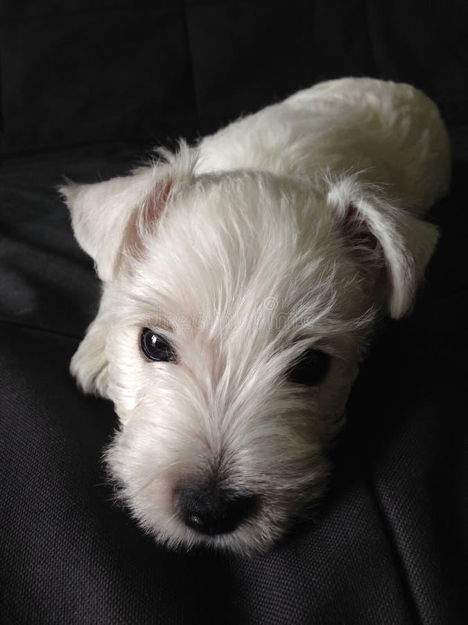 Pequeño perrito blanco que pone en el sofá oscuro foto de archivo