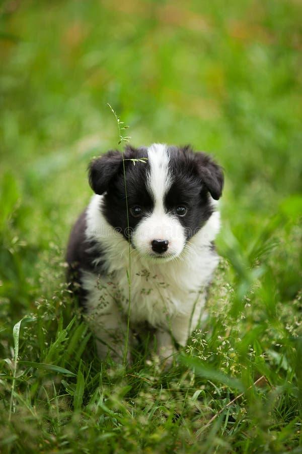 Pequeño perrito blanco y negro hermoso del border collie en la hierba al aire libre imagen de archivo libre de regalías