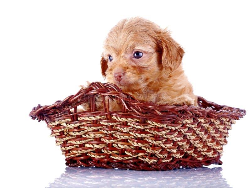 Pequeño perrito bonito de un perrito decorativo en una cesta wattled. imagenes de archivo